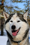 Sled dog (Siberian husky)